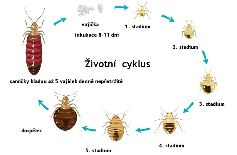Životní cyklus štěnice